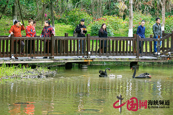 漳州开发区:黑天鹅自然孵化成功 喜添3只