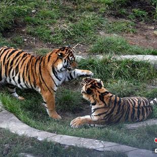 福建梅花山自然保护区内看华南虎
