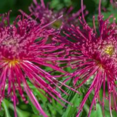 太美了!福州西湖菊展3日开启 这份赏花攻略快收好!