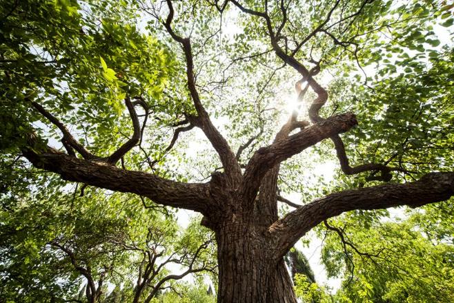 """武夷山为樟树公园古树名木制作""""身份证"""""""
